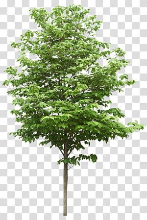 Ressources scientifiques A & A Sdn Bhd, arbres, arbre à feuilles vertes png