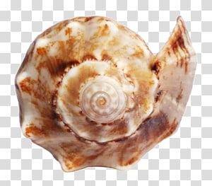 coquille de conque brune et blanche, coquillage, coquille de mer océan png
