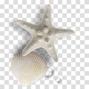 étoile de mer et coquille beige, coquillage, perle gratuite png