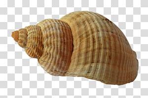coquille de tulipe beige, coquille de coquille de mollusque coquillage plage, coquille de mer png