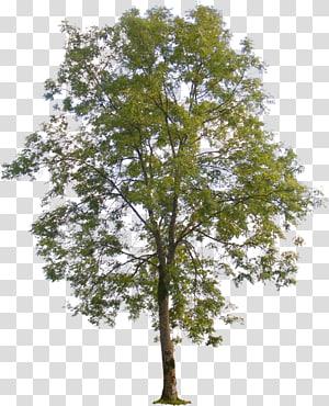 illustration d'arbre à feuilles vertes, Populus nigra Sycomore d'Amérique Arbre Populus sect.Aigeiros, plan d'arbre png