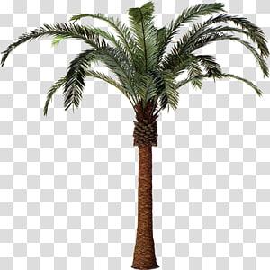 palmier, illustration, Arecaceae, palmier dattier, plante, arbre, Attalea speciosa, phénix png