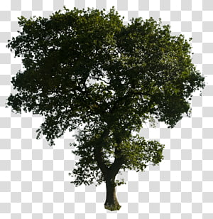 arbre à feuilles vertes, icônes d'ordinateur, arbre png