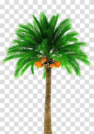 palmier, palmier dattier Arecaceae, palmier png