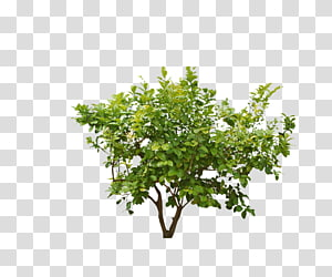arbre feuille verte, plante arbustive, arbres forestiers png