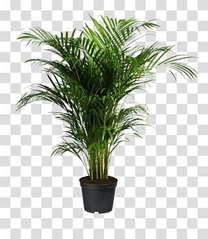 Howea forsteriana Ravenea Areca palm Plante d'intérieur, plantes en pot, plante à feuilles vertes png