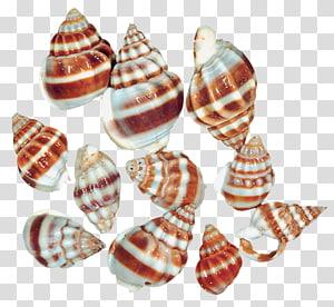 collection de coquillages à rayures marron et blanc, escargot de mer coquillage, coquillages d'escargot de mer png