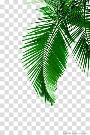 Arecaceae Leaf White, feuilles de palmier vert, feuille verte png