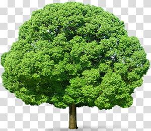 Arbre, arbre vert, illustration d'arbre à feuilles vertes png