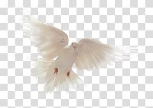 colombe blanche, Bible Saint-Esprit Colombidae Colombes comme symboles, Dieu png
