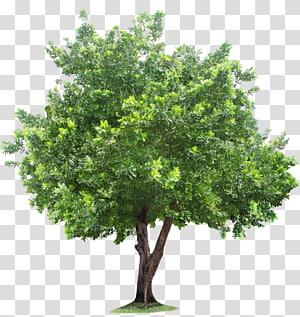 illustration d'arbre vert, racine de l'arbre, arbre png