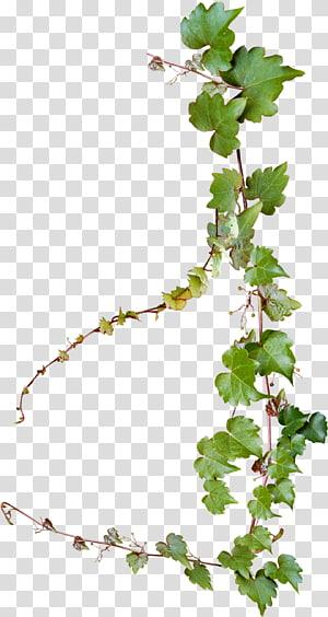 plante verte de vigne, vigne de raisin commun, conception créative de vignes png