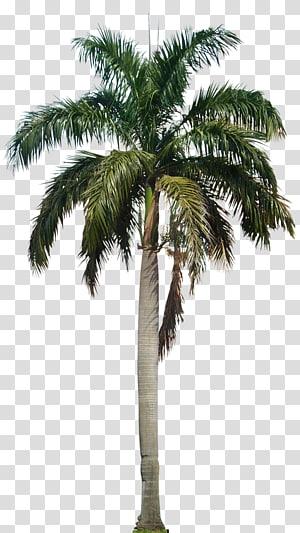cocotier, Arecaceae Roystonea regia, cocotier HD png