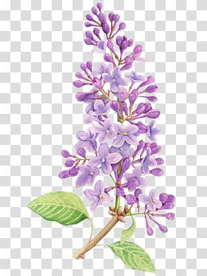 Dessin de fleurs lilas tatouage peinture à l'aquarelle, fleurs violettes, fleurs pétales violettes png