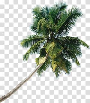 cocotier vert, palmier asiatique palmier arbre noix de coco, arbre png