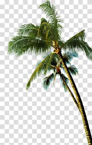 Noix de coco palmier asiatique, palmier, cocotier, cocotier vert png