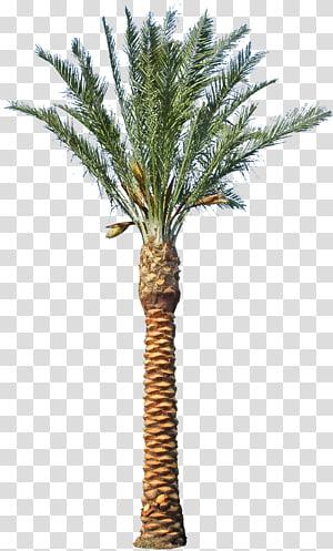 arbre à feuilles vertes, palmier d'Asie palmier palmier dattier Phoenix canariensis Arecaceae arbre, palmier dattier png