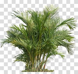 Plante d'intérieur Qualité de l'air intérieur Jardinage Santé, Palm Plant Le palmier Areca, plante verte png