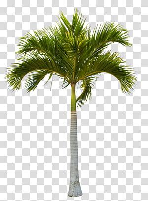cocotier, arbre Noix de coco, beaux cocotiers verts png