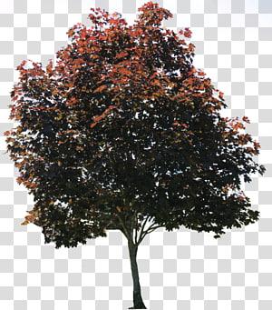 Arbre sycomore américain Pixel, parcourir et arbre s, illustration de l'arbre rouge et noir png