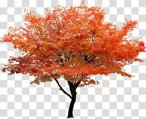 Érable rouge, automne, arbre rouge, stands, décor png
