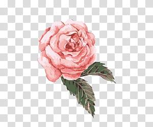 Aquarelle Fleur, Aquarelle peinte à la main fleur rose, rose rose png