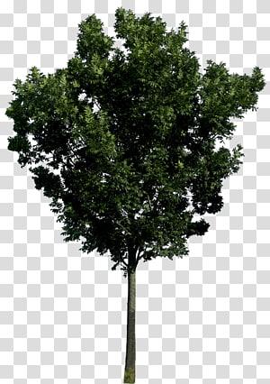 arbre vert, arbre, arbre png