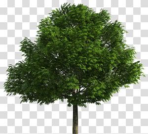 arbre vert, arbres indigènes australiens dessin, arbres png