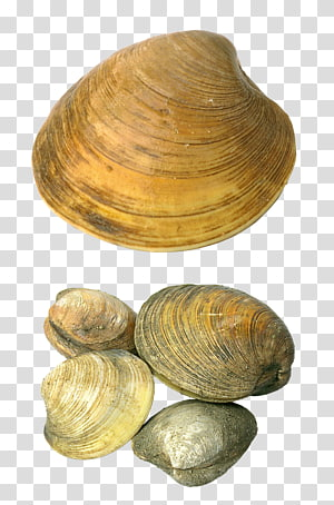 groupe de coquillages, coquillage coquillage, coquillages png