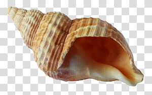 coquille de mer brune, coquillage coquillage, coquille océan png