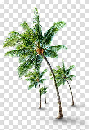Arbre de noix de coco Arecaceae, cocotiers tropicaux, illustration de quatre arbres de noix de coco png