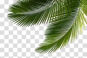 Arecaceae Palmyre asiatique Palmier Feuille Arbre Sabal Palmier, palmier, arbre à feuilles vertes png