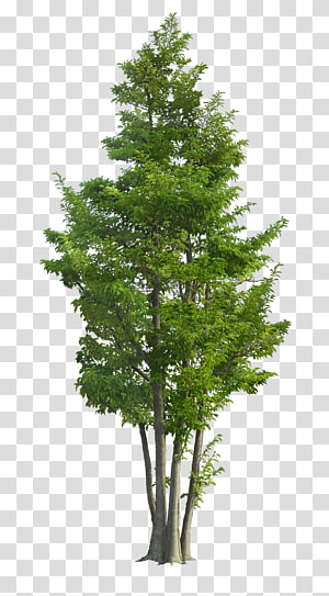 plante à feuilles vertes, Ilex rotunda Tree Landscape Garden Green, arbres luxuriants png